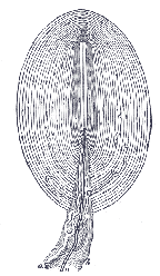 a diagram of pacinian corpuscle-